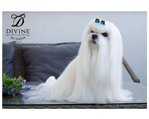 Maltese show dog in show bows
