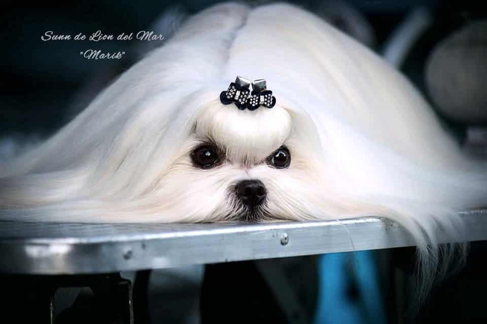 "Sunn de Lion del Mar -""Marik"" - owner & photo author: Valentina Zagar"